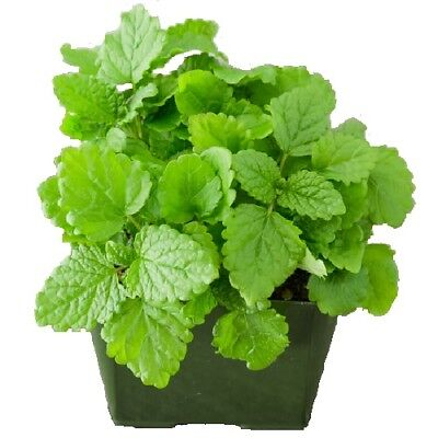 Lemon Balm / Melissa Officinalis / Culinary & Tea Herb / Hardy / 2000 Seeds • 0.99£