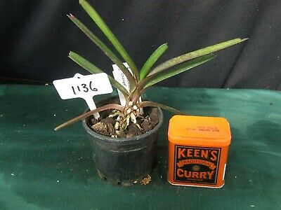 AU35 • Buy Orchid Plant 1136. Ascocentrum Ampullaceum 'Red' X 'Orange' Nice Blooming Size P