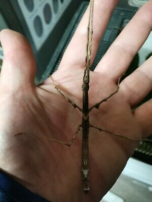 150  Parapachymorpha Zomproi (stick Insect) Eggs/ova  • 0.99£