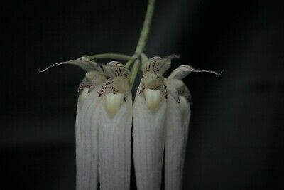 AU10 • Buy Species Orchid - Bulbophyllum Longissimum Growing In A 90mm Pot