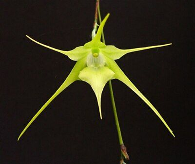AU12.50 • Buy Species Orchid - Aeranthes Grandifolia Growing In A 50mm Pot