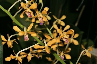 AU11 • Buy Species Orchid - Vanda Testacea Growing In An 80mm Pot