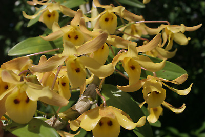 AU10 • Buy Species Orchid - Dendrobium Friedericksianum Growing In A 90mm Pot