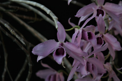AU13.50 • Buy Species Orchid - Dendrobium Anosmum Growing In A 90mm Pot