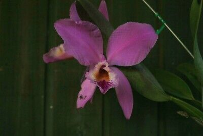 AU15.50 • Buy Species Orchid - Cattleya Mossiae Growing In A 90mm Pot