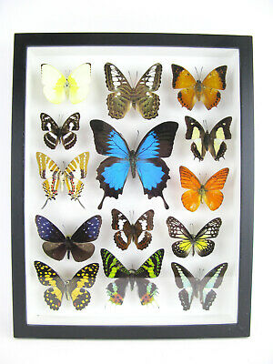 14 Beautiful Butterflies In 3D Box - Real - Taxidermy - One-of-a-kind - Nice 12 • 169.95£