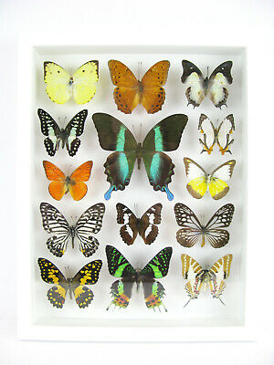 14 Beautiful Butterflies In 3D Box - Real - Taxidermy - One-of-a-kind - Nice 03 • 169.95£