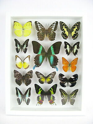 14 Beautiful Butterflies In 3D Box - Real - Taxidermy - One-of-a-kind - Nice 04 • 169.95£