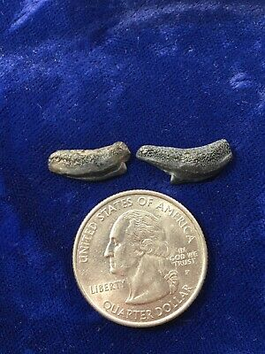 Lot Of 2 Extreme Posterior Galeocerdo Cuvier Fossil Tiger Shark Teeth USA • 7.49£