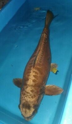Koi Carp Pond Clearance. Large 58cm Ghost Carp • 26£