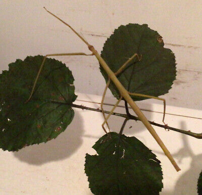 *10*.  NYMPHS VIETNAMESE (Ramulus Artemis)  STICK INSECT. + *10* Eggs .😀 • 4.95£