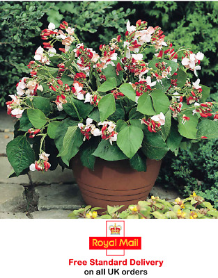 40 X DWARF RUNNER BEAN 'HESTIA' SEEDS - Sow April To July - Patio -Fast Dispatch • 3.49£