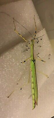 *** 30***NECROSGA ANNULIPES  MALAYSIAN YELLOW FLYING Stick Insect Eggs  😀 • 3.75£