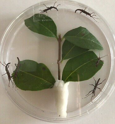 *6* NYMPHS  (PERUPHASMA SCHULTEI) BLACK BEAUTY Stick Insect.  +  *6* Eggs 😀 • 4.99£
