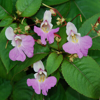 AU3.50 • Buy 10 Impatiens Balfourii Seeds  Poor Man's Orchid  FRESHLY HARVESTED