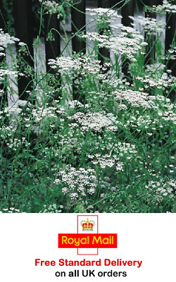 £2.95 • Buy 300 X ANISE SEEDS - Sow After Last Frost - Fast Dispatch - Grow Your Own Herbs