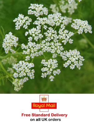 £2.95 • Buy 1000 X CARAWAY SEEDS - Sow March To July - Fast Dispatch -Grow Your Own Herbs