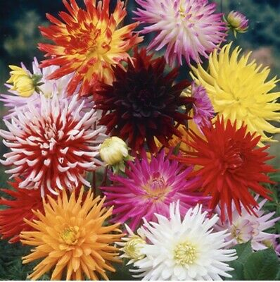 Dahlia CACTUS MIX X 3 Tubers Not Seed - IN STOCK FAST DISPATCH! • 10£
