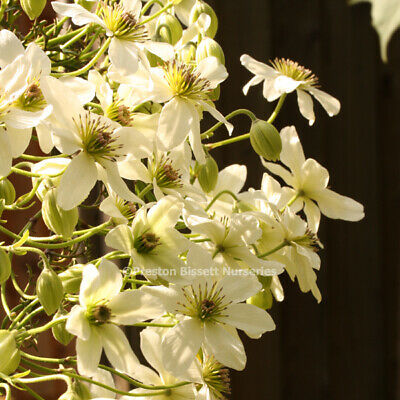 £19.95 • Buy Clematis Avalanche Evergreen Climbing Plant