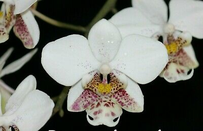 AU33 • Buy Species Orchid - Phalaenopsis Stuartiana Growing In A 90mm Pot