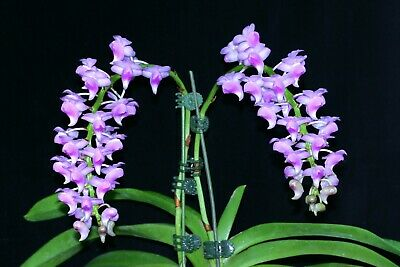 AU14.95 • Buy Species Orchid - Aerides Odorata 'Pink' Growing In A 50mm Pot