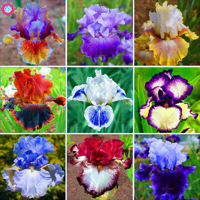 AU35.95 • Buy Rare Mixed Iris Orchid  Seeds--exotic-fresh Seeds---rare--fast  Postage-