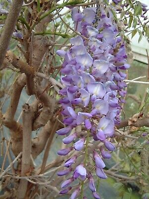 £28.95 • Buy Wisteria Sinensis Amethyst Climbing Plant 3 Litre Pot 4ft Grafted Plants
