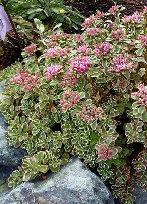 £3.99 • Buy 10 X Sedum Spurium 'Tricolor' Variegated Rooted Cuttings Pink Hardy Succulent