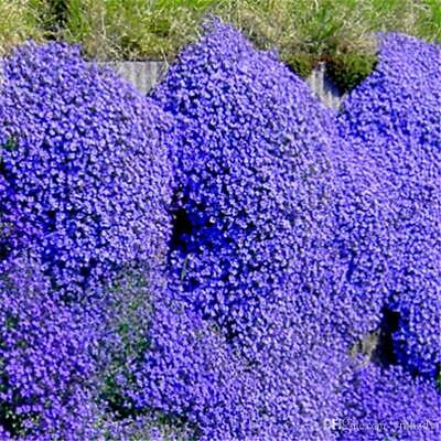 £3.99 • Buy 30 Creeping Thyme Seeds Or Rainbow Rock Cress Seeds Perennial Ground Cover REFB8