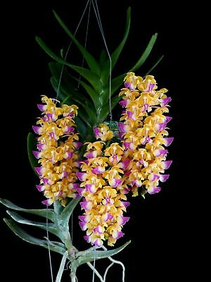 AU41 • Buy AOA Species Orchid Aerides Houlletiana PERFUMED RARE