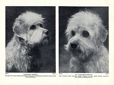 Dandie Dinmont Terrier Head Studies Of Named Dogs Old Dog Print Page From 1934 • 6.49£