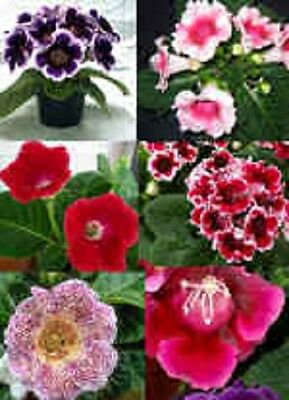 £3.75 • Buy 25+ Gloxinia Empress Mix Flower Seeds / Indoor House Plant
