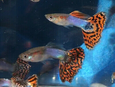 blue guppies