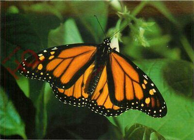 Picture Postcard:;Butterfly, Monarch • 2.29£