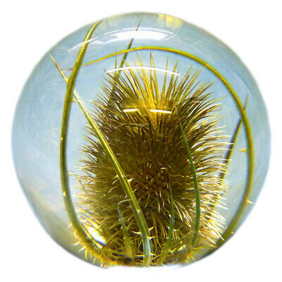 £30.99 • Buy Medium Teasel Paperweight Made With A Real Flower