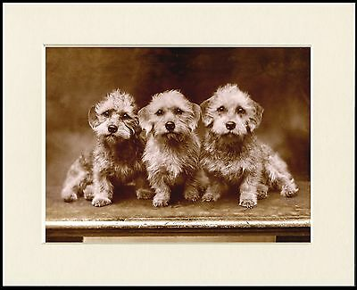 Dandie Dinmont Terrier Three Dogs Lovely Dog Photo Print Mounted Ready To Frame • 7.99£