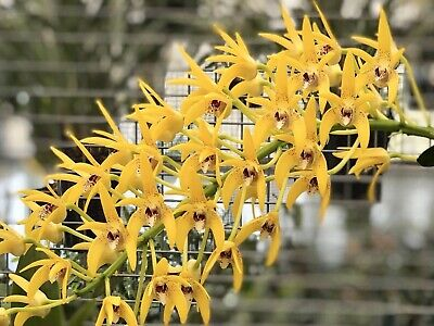 AU41 • Buy Orchids Dendrobium Cosmic Gold Seedling