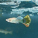 $45 • Buy Assorted Live Guppies - 25 Pack
