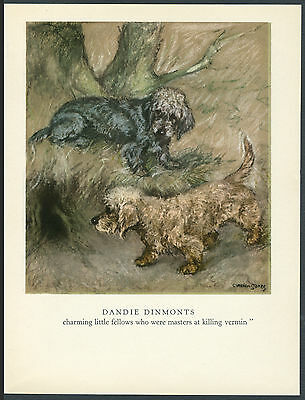 DANDIE DINMONT TERRIER DOGS LOVELY OLD 1947 IMAGE DOG ART PRINT By VERNON STOKES • 7.99£