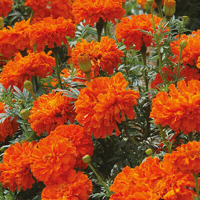 20 MARIGOLD AFRICAN KEES ORANGE SEEDS Half Hardy Annual Flower UK Fast Despatch  • 4.50£