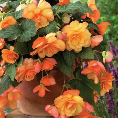 £12 • Buy 3 Trailing Cascade SUNRAY BEGONIA BULBS Apricot Orange For Hanging Baskets