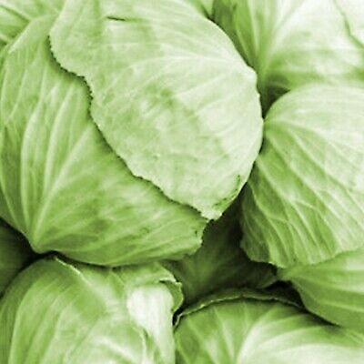 £2.29 • Buy 20 Cabbage Seeds White Ball Head Organic Plants Large Year Long Vegetables