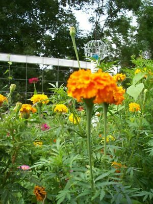 African Marigold Crackerjack - Taller Type  Appx 100 Seeds SOW NOW Pots Or Beds • 1.99£