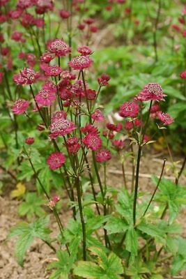 £3.95 • Buy Astrantia Major Red Forms, Divisions,
