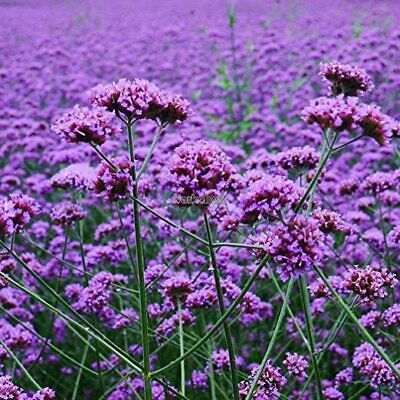 Verbena Bonariensis 'Buenos Aires' 9cm Pot, Tall Perennial With Purple Flowers • 3.95£