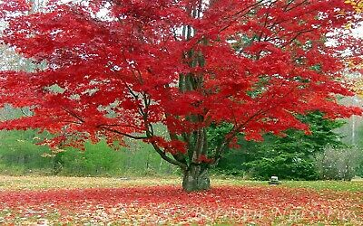 30 Seeds Red Maple - Acer Rubrum - Tree / Bush / Bonsai 😊 • 2.90£