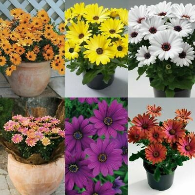 50 Daisy Osteospermum Flower Seeds Mixed Colors Exotic African Home Plant Bonsai • 2.30£