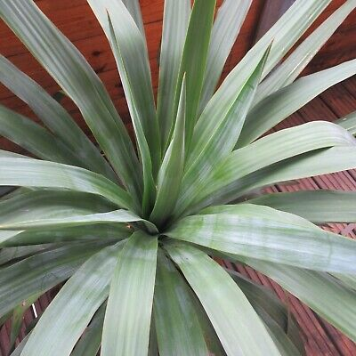 Large/Huge YUCCA FILAMENTOSA PLANT HEALTHY MATURE PLANT - ADAMS NEEDLE • 45£