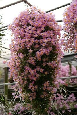 AU14 • Buy Orchid Species - Dendrobium Loddigesii - 50mm Pot - First Flowering