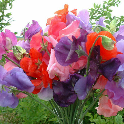 8 Sweet Pea Mammoth Mix Plug Plants For Earliest Flowers In Spring • 7.55£